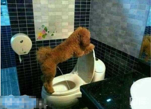 Cách nuôi chó poodle