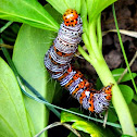 Eight spotted forester caterpillar