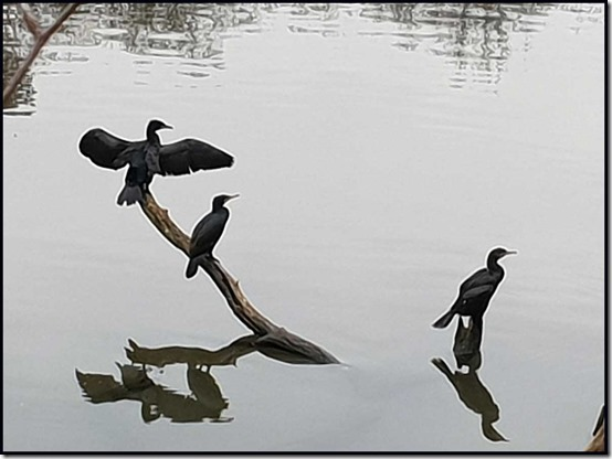 0409cormorants
