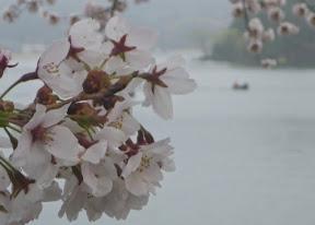 桜満開の中、接岸2