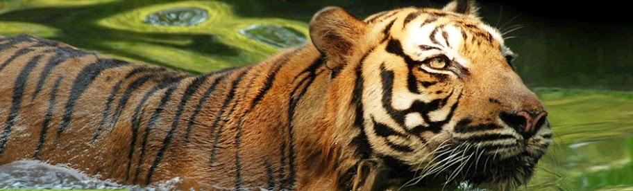 tiger zoo negara national zoo malaysia