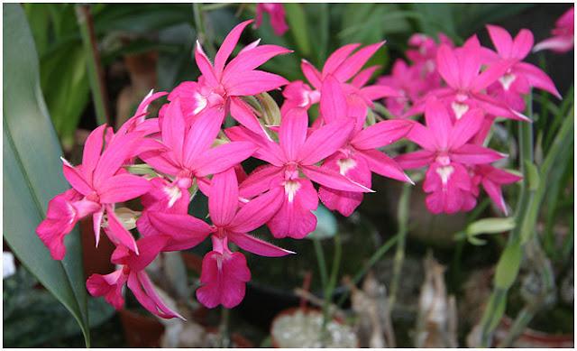 Растения из Тюмени. Краткий обзор - Страница 9 Calanthe-rosea-IMG_6768
