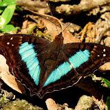PapillonsDuParana