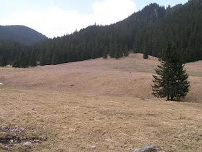 Photo: B3310005 krokusy i nie tylko w Dolinie Chochołowskiej