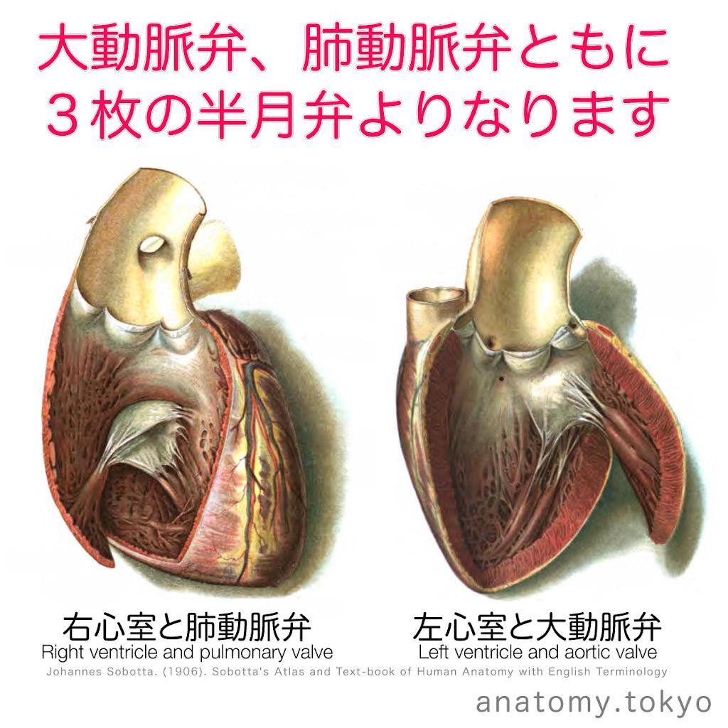 t222-16-動脈弁は3枚の半月弁よりなる.png