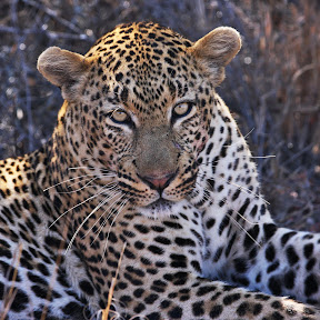 Male Leopard, South Africa