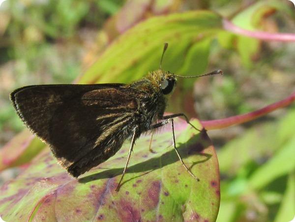IMG_7546 Northern Broken-Dash Butterfly (2)