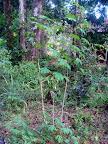 Tak rośnie maniok.