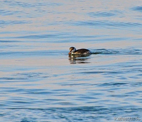 12. horned grebe in inlet-kab