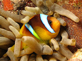 Anemone fish (© 2012 Bernd Neeser)