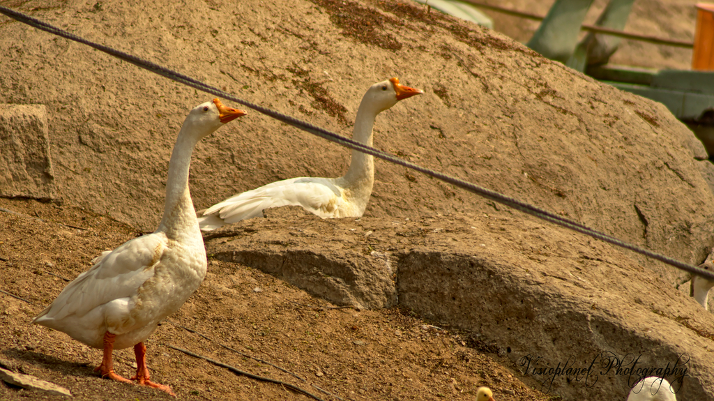 Say Geese! by Sudipto Sarkar on Visioplanet