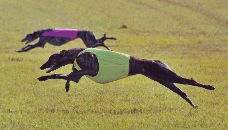 Greyhound - Giống chó nhanh nhất thế giới
