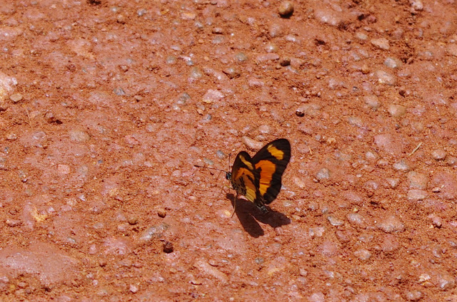 Acraea bonasia FABRICIUS, 1775. Piste vers Ebogo (Cameroun), 8 avril 2012. Photo : J.-M. Gayman