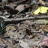 Graphium policenes CRAMER, 1775, Eurema senegalensis BOISDUVAL, [1836], Acraea et Lycènes. Berges de la Soo (affluent du fleuve Nyong), Ebogo (Cameroun), 8 avril 2012. Photo : J.-M. Gayman