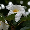White Trumpet Tree