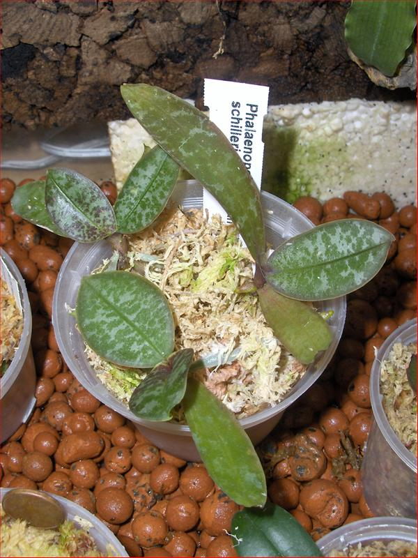 Rinvaso Di Orchidee Phalaenopsis In Sfagno. Phalaenopsis Schilleriana (foto  Del 4 Ottobre 2012)