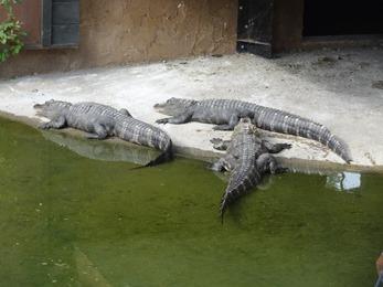 2018.08.25-058 alligators
