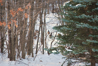Wild Turkeys march through the woods
