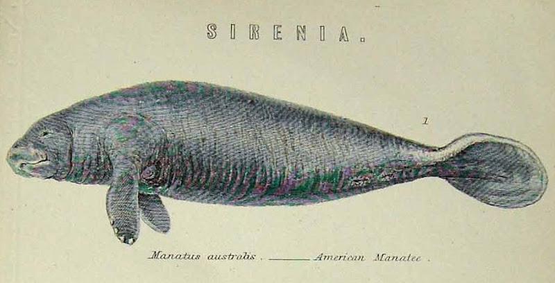manatus australis, american manatee