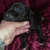 Marion & Adam's Black female @ 3 weeks