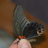 Papilio memnon agenor LINNAEUS, 1758, mâle. Jinghong (Xichuangbanna, Yunnan), 29 août 2010. Photo : J.-M. Gayman