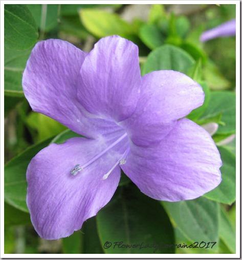 10-25-philippine-violet
