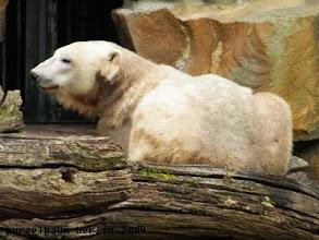 Photo: Setzt sich Knut eben entspannt hinter den Baumstamm ;-)