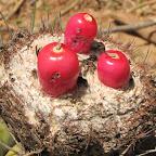"""el fruto del cactus """"cabeza de negro"""" que produjo estragos estomacales innecesarios de nombrar"""