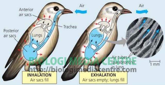 respirasi%252520burung Sistem Respirasi (2) : Respirasi pada hewan Vertebrata