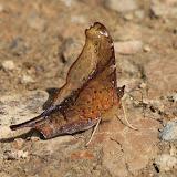 Nymphalini : Hypanartia dione dione LATREILLE (1813). Route de Manu (Madre de Dios), Pantiacolla Lodge, 11 décembre 2008. Photo : Benoit Nabholz