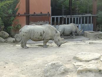 2017.08.26-059 rhinocéros blancs