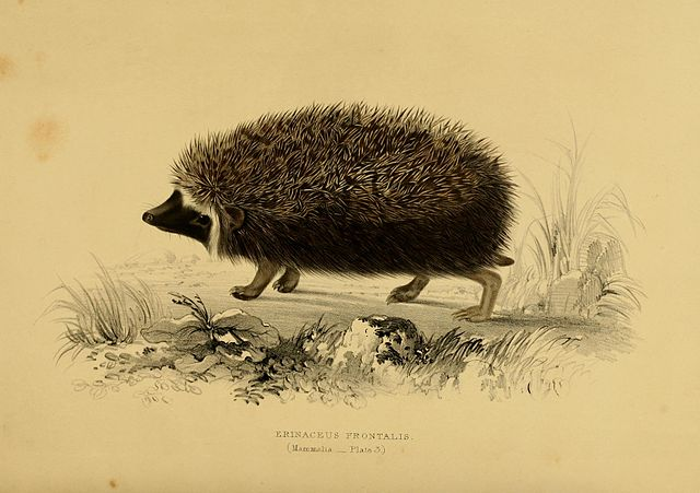 Will Atelerix frontalis trigger a new boar war? Or is it a sow?