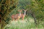Lidt senere, da solen er stået op, ser vi disse 2 kudu-hunner, som kendes på de tynde striber og de store ører.