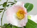 淡桃色地 底白 一重 椀〜平開咲き 筒しべ 中輪