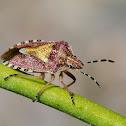 Chinche (Sloe bug)