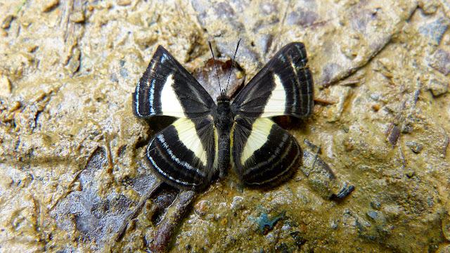 Baeotis creusis Hewitson, 1874. Chovacollo, près de Coroico, 1800 m (Yungas, Bolivie), 27 décembre 2014. Photo : Jan Flindt Christensen