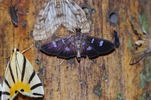 À gauche : Crambidae : Dichogama prognealis (DRUCE, 1895). Au centre : Crambidae : Desmia sp. Los Cedros, 1400 m, Montagnes de Toisan, Cordillère de La Plata (Imbabura, Équateur), 18 novembre 2013. Photo : J.-M. Gayman