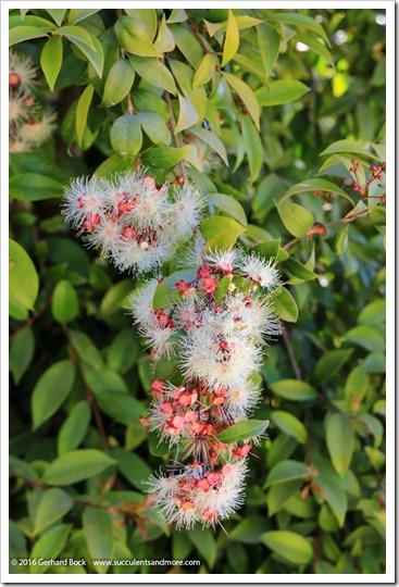 160813_UCSC_Arboretum_Syzygium-australe_001