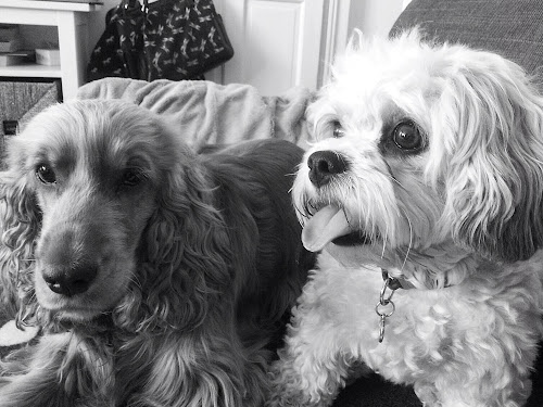 Spaniels tail Lottie Kali cavachon black and white Sunday