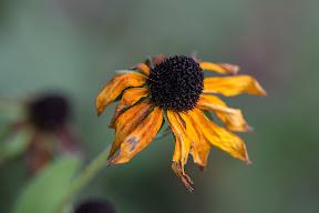 Rudbeckia hirta (Black-Eyed Susan)