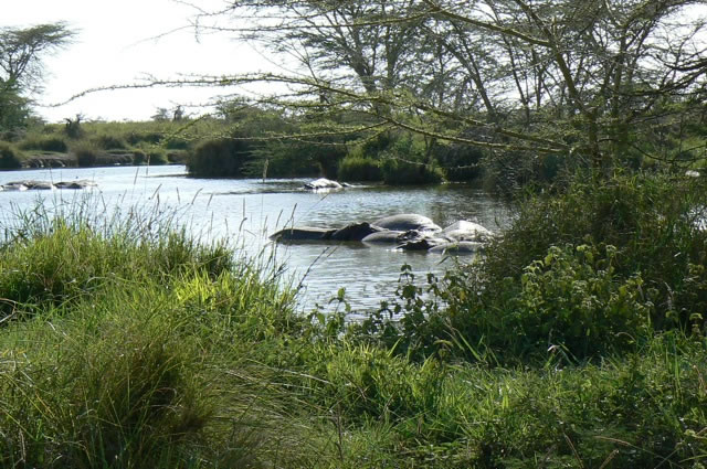 Serengeti National Park - hippos