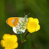 Anthocharis cardamines LINNAEUS, 1758, mâle. Hautes-Lisières (Rouvres, 28), 21 avril 2011. Photo : J.-M. Gayman