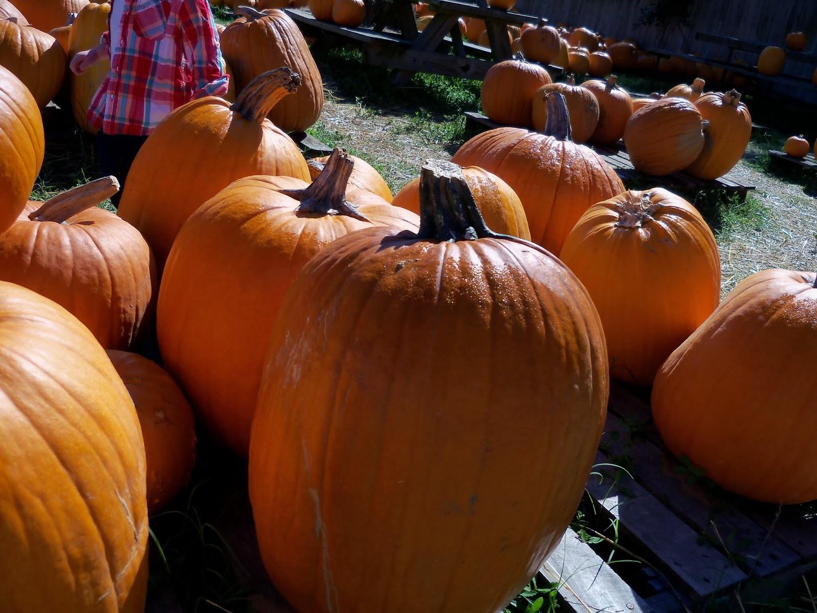 Pumpkin Patch - 115_8234.JPG
