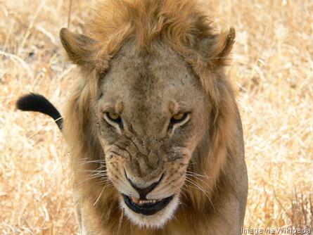 Snarling_lion