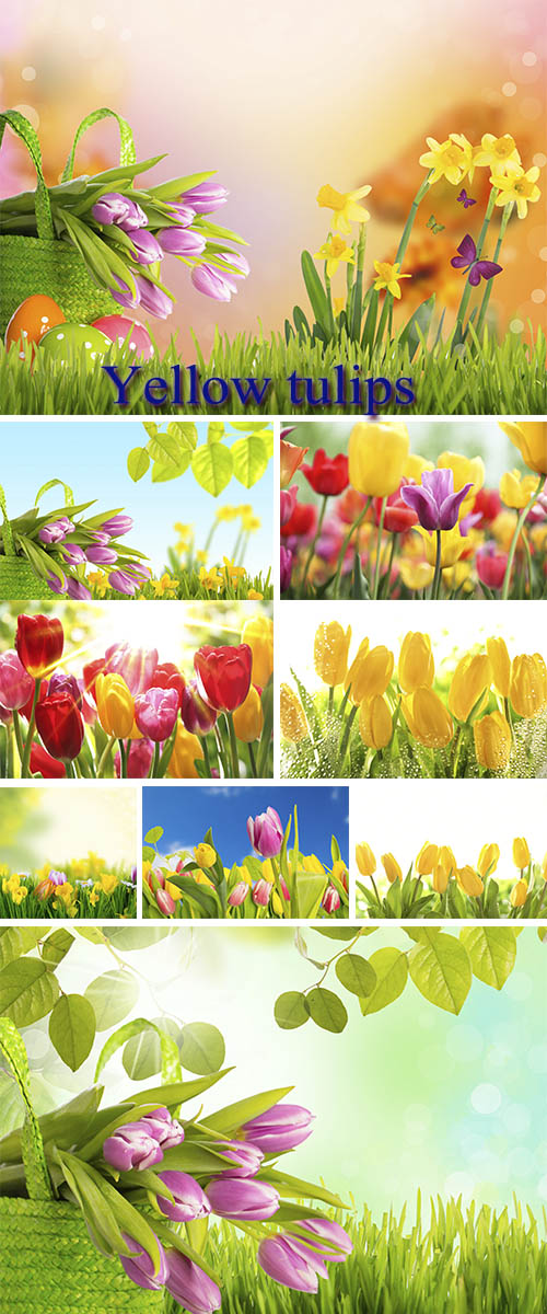 Stock Photo: Yellow tulips 5