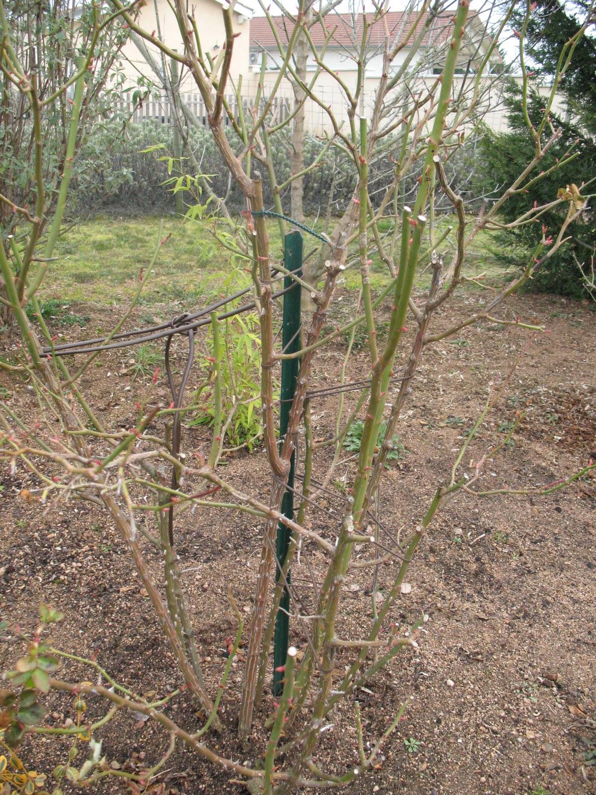 Roses du jardin ch neland taille des rosiers - Taille des framboisiers non remontants ...
