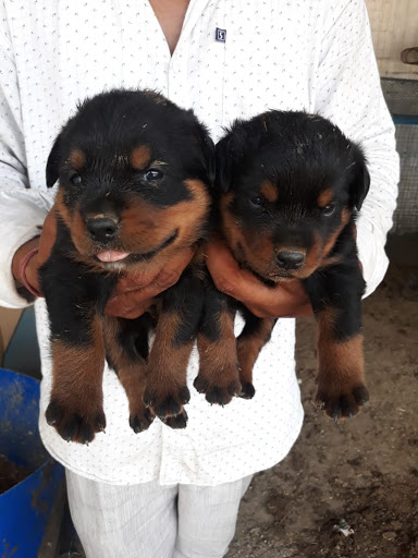 Buy Pug At 13000 And Rottweiler Pup At 11000 In Patna