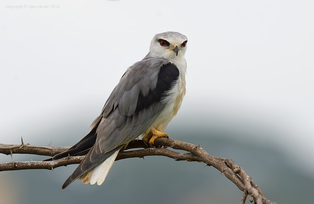 Black-winged Kite * Elanus caeruleus * 32 cms