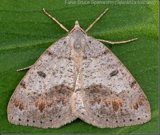 False Bruce Spanworm (Speranza loricaria)