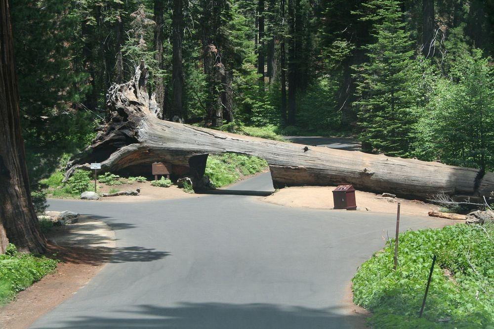 Conheça as árvores da Califórnia com estradas entre elas